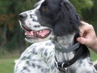 English Setter - Cookie - Large - Adult - Female - Dog