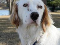 English Setter - Dalton - See Videos! - Medium - Young