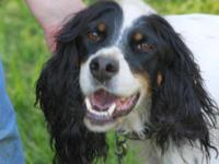 English Setter - Jersey Girl - Large - Adult - Female -