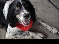 English Setter - Logan - Medium - Adult - Male - Dog