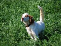 English Setter Male - 22 months (Scottlands Chet The