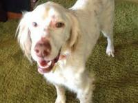 English Setter - Mango - See Video! - Medium - Adult -