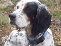 English Setter - Manny - Medium - Adult - Male - Dog