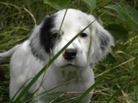 Captain is an English Setter puppy. He is 8 weeks old