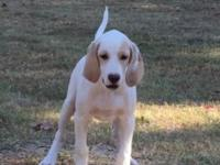English Setter Puppy, 12 weeks old. Started & Pointing.