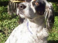 English Setter - Rhett - Medium - Adult - Male - Dog
