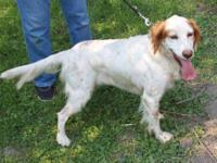 English Setter - Ruger John - Large - Adult - Male -