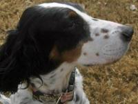 English Setter - Sassy - See Video! - Medium - Adult -