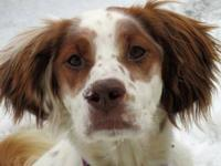English Setter - Tessa In Co - Medium - Adult - Female