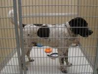 English Setter - Travis #8482 - Large - Adult - Male -