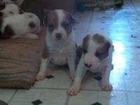 We have a litter of 8 male English Shepard /