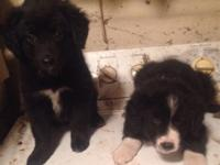 I have 2 female Farm Dogs puppies. Born on 2/25/15 Very