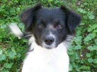English Shepherd - Dixie - Large - Adult - Female -