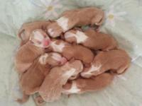 English Shepherd Puppies are right here! UKC registered