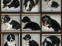 Purebred English Shepherd pups born 6-16-12 3 Females 6