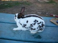 English Spot - Boston - Medium - Adult - Male - Rabbit