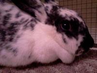 English Spot - Gypsy - Small - Young - Female - Rabbit