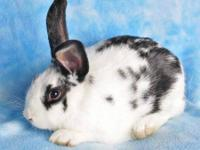 English Spot - Larry - Medium - Young - Male - Rabbit