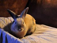 English Spot - Magic - Medium - Adult - Male - Rabbit