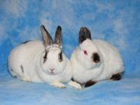 English Spot - Peanut & Skippy - Small - Adult -