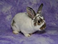 English Spot - Puff - Medium - Young - Male - Rabbit