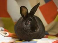English Spot - Ronald - Small - Adult - Male - Rabbit