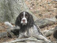 English Springer Spaniel - Benny - Medium - Young -