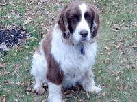 English Springer Spaniel - Oscar - Medium - Adult -