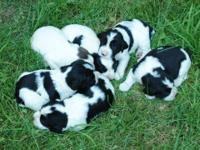 we have 3 springer spaniel puppies left..2 males & 1