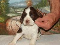 English Springer Spaniels for sale. DOB 04/30/2010.