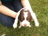I have 1 female english springer spaniel who needs a