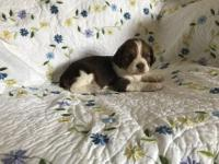 I have an Outstanding Litter Of English Springer