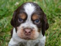 English Springer Spaniel Pups for Sale in Georgetown, South Carolina