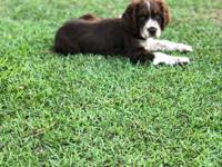 Im I have an Outstanding Litter Of English Springer