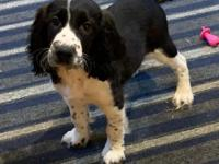 Gorgeous fun friendly litter of English Springer