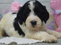 We have a gorgeous litter of springerdoodles. Mom is a