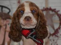 Beautiful and sweet litter of English Springer Spaniel