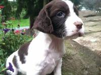 English Springer Spaniel - Sakoi - Medium - Senior -