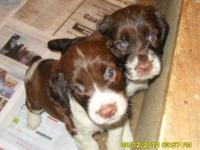 English Springer Spaniel - Willow - Medium - Young -