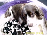 Purebred English Springer Spaniel Puppies born Sept 22.