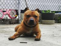 Akc registered red male staffy bull he 14 inches tall