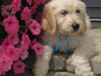 We only have 3 English Teddy Bear Goldendoodle Puppies