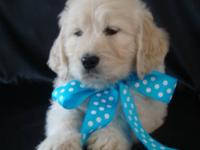 We have Beautiful F1 English Teddy Bear Golden