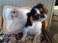 Here is a handsome male English Toy Spaniel. He is so