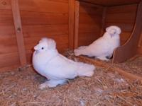 I have 3 gorgous purebred english trumpeter pigeons.