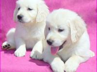 Princeton Goldens will only have two litters of English
