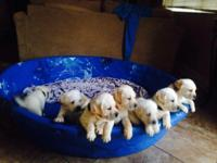 Litter of Yellow/white English Lab puppies will be