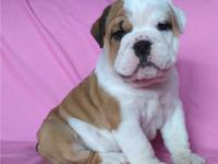 We have adorable English Bulldog puppies! They are 8