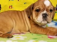 Kay is a fawn female English Bulldog puppy, American