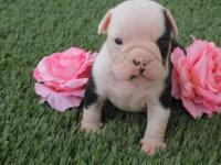 Coby is a black tri English bulldog that carries. Born